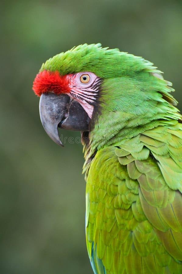 Green Macaw. Close-up bird portrait of Great Green Macaw, Ara ambiguus stock photo