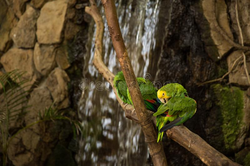 Green Macaw Parrots on zoo branch. Green Macaw Parrots rest on branch at the Guadalajara Zoo, Jalisco, Mexico stock photography