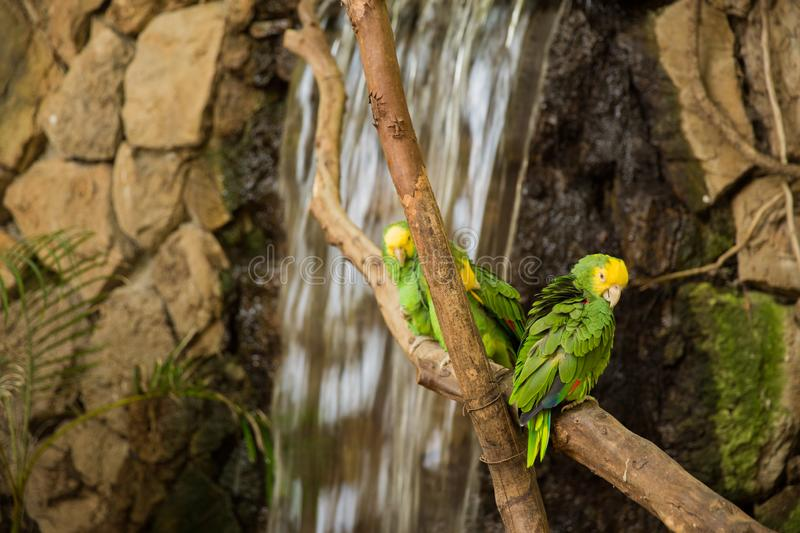 Green Macaw Parrots on zoo branch. Green Macaw Parrots rest on branch at the Guadalajara Zoo, Jalisco, Mexico royalty free stock photo