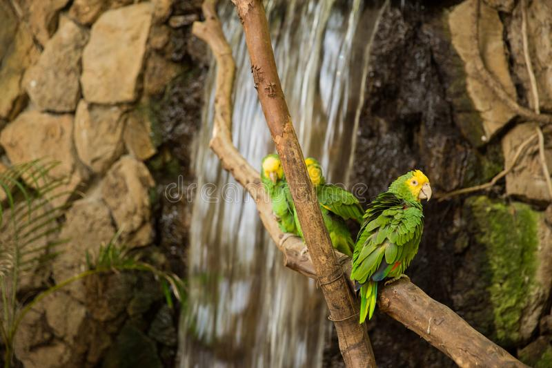 Green Macaw Parrots on zoo branch. Green Macaw Parrots rest on branch at the Guadalajara Zoo, Jalisco, Mexico royalty free stock image