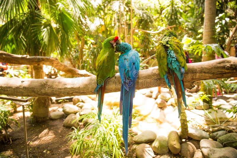Green Macaw Parrots on zoo branch. Green Macaw Parrots rest on branch at the Guadalajara Zoo, Jalisco, Mexico stock photo