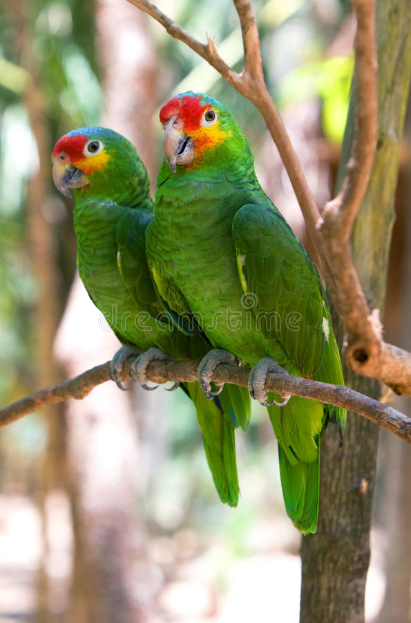 Green macaws parrots. Macaws parrots couple in Xcaret park. Mexico stock photo