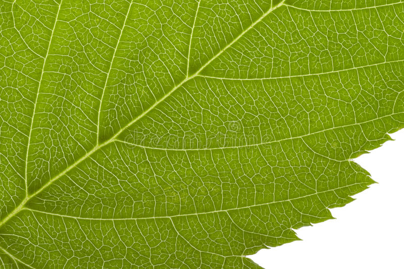 Green macro leaf. Macro detail of a green translucent leaf royalty free stock photos