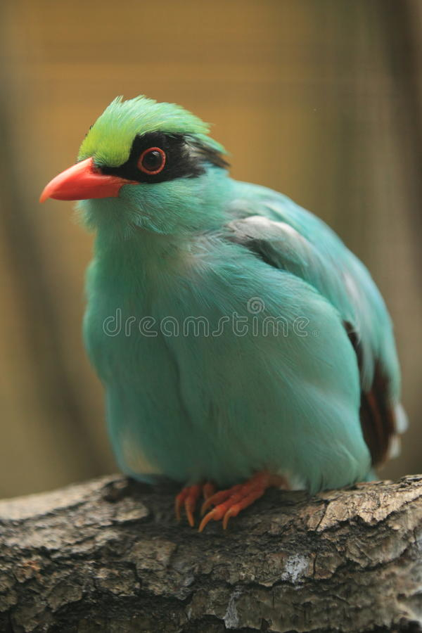Green magpie royalty free stock image