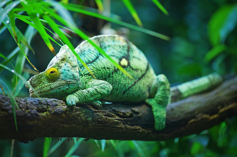 Download Green male chameleon stock photo. Image of close, reptile - 20150028