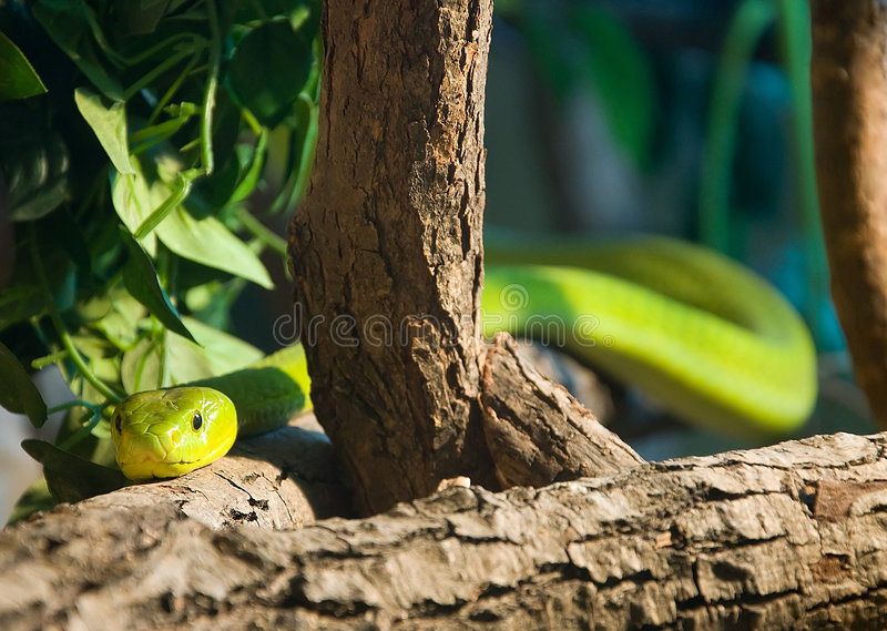 Green mamba royalty free stock photography
