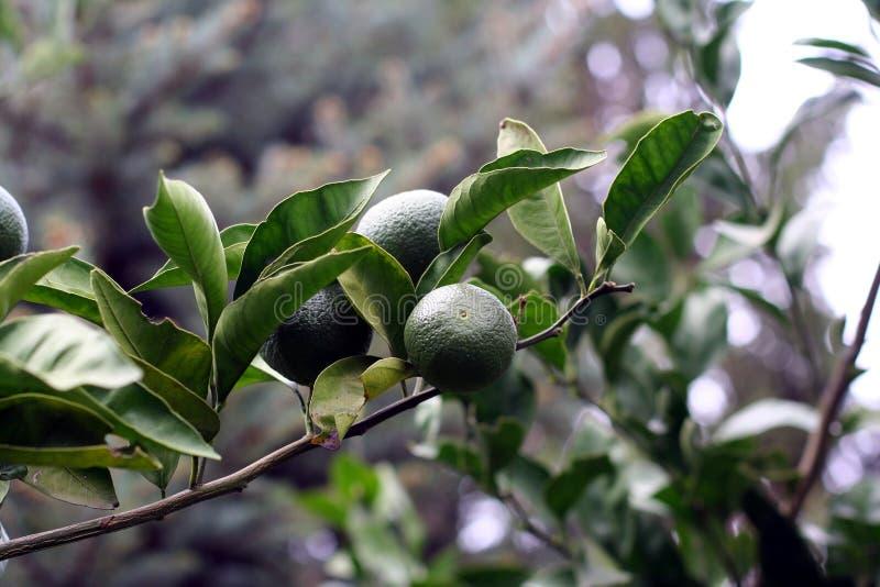 Download Green Mandarins Branch Stock Photo - Image: 16690310