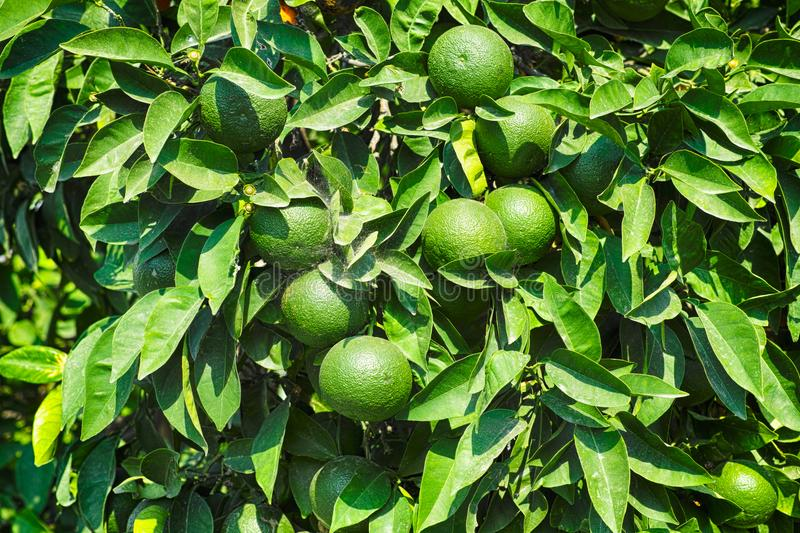 Green mandarins on the tree with spider mite. Close-up royalty free stock photos