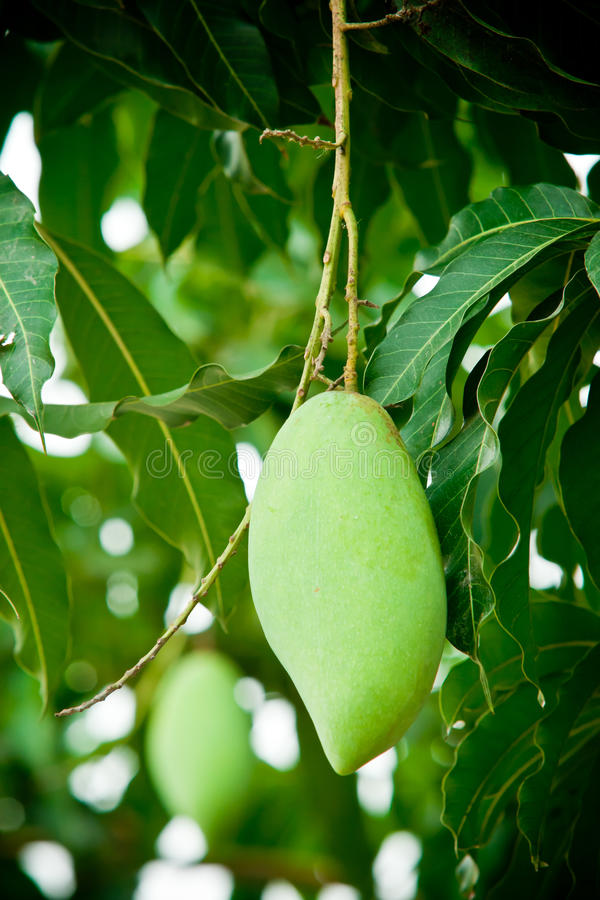 Green mango. Close up of Mangos on tree stock photography