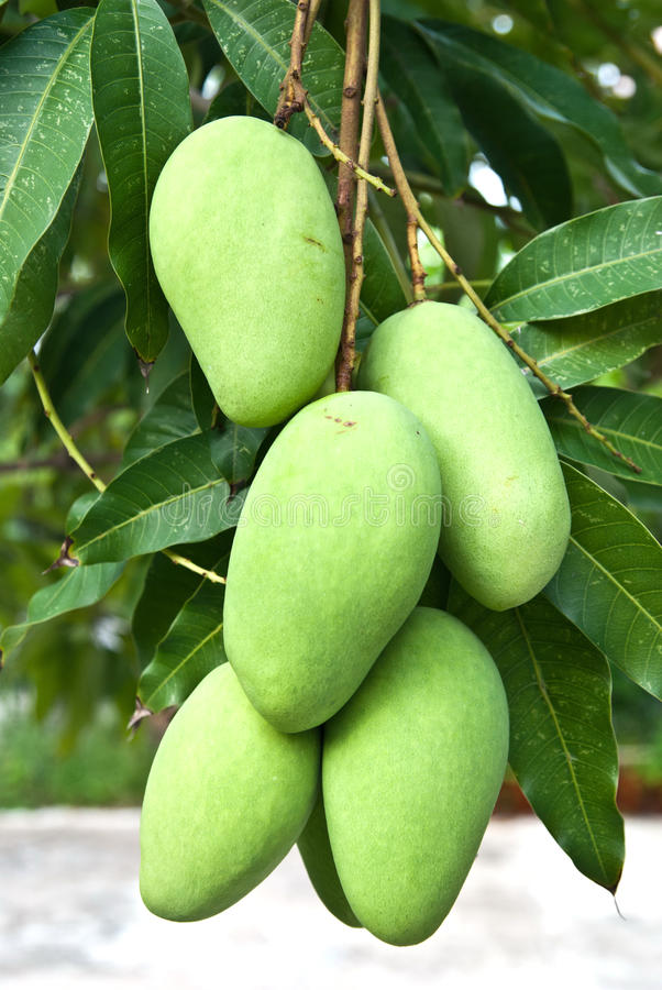 Green mango. Cluster of green mangoes on tree from Thailand stock image