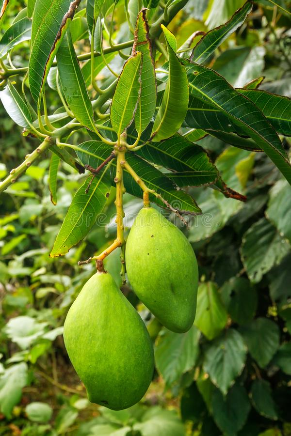 Green mango fruit on a tree royalty free stock photography