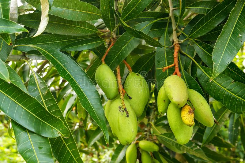 Green mango fruit on a tree stock image