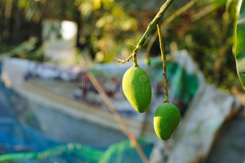 Green mango that grows naturally.  stock photography