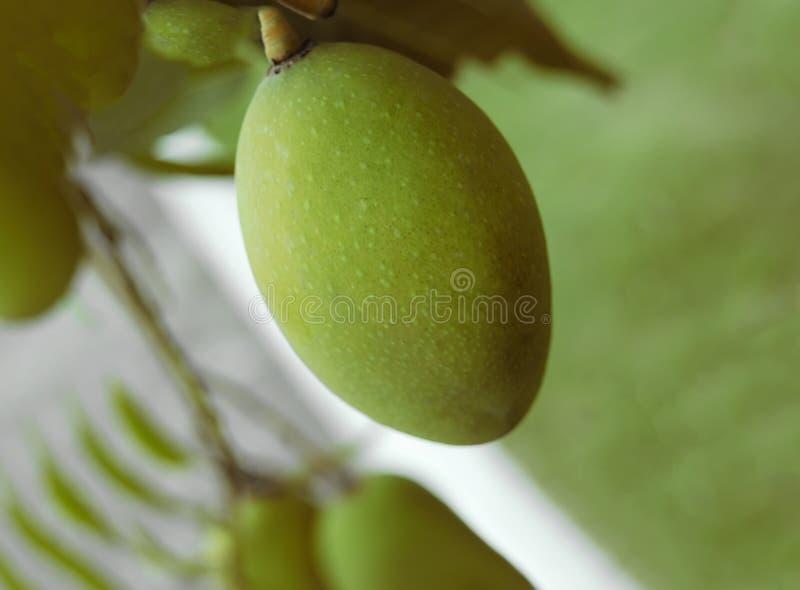 Mango tree with fruits. Green Mango tree with fruits stock photos