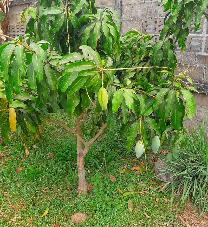 Green mango tree and the fruits - organic plantation - growing the Mangifera indica tree stock photos