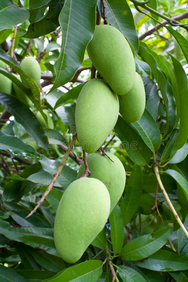 Green mangoes on a tree royalty free stock images