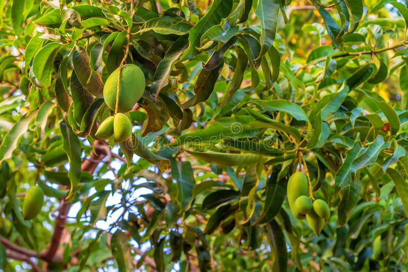 Green mangoes on tree. Green juicy mango fruit is growing on tree stock photo