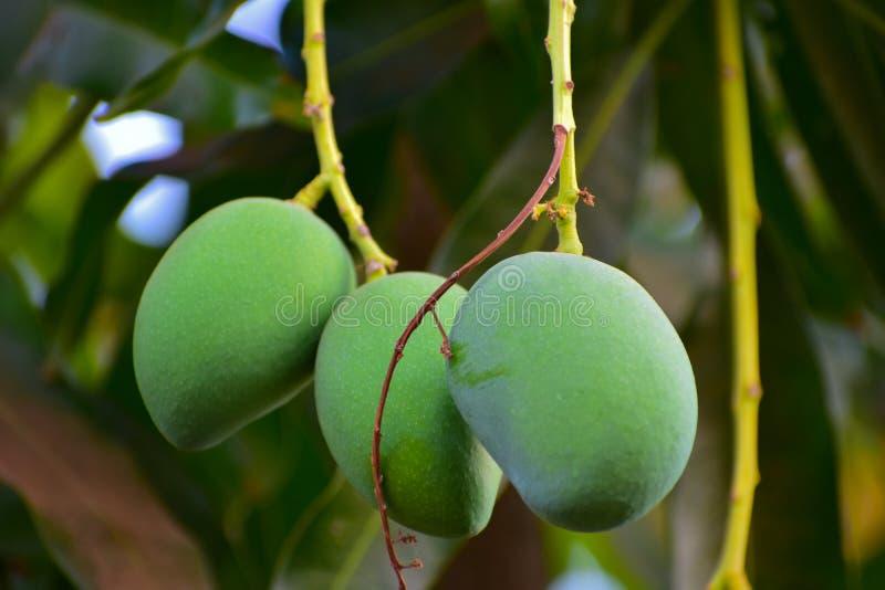 Green mangos on mango tree stock image