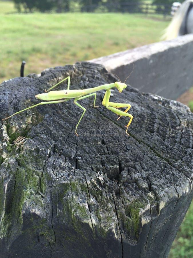 Green Mantis royalty free stock images