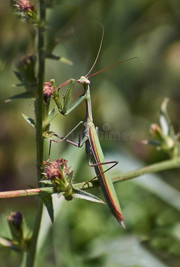 Green mantis on the grass. Option 1. Green mantis on the grass in the natural habitat. Option 1 stock photography