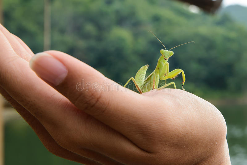 Green mantis on a hand stock photo