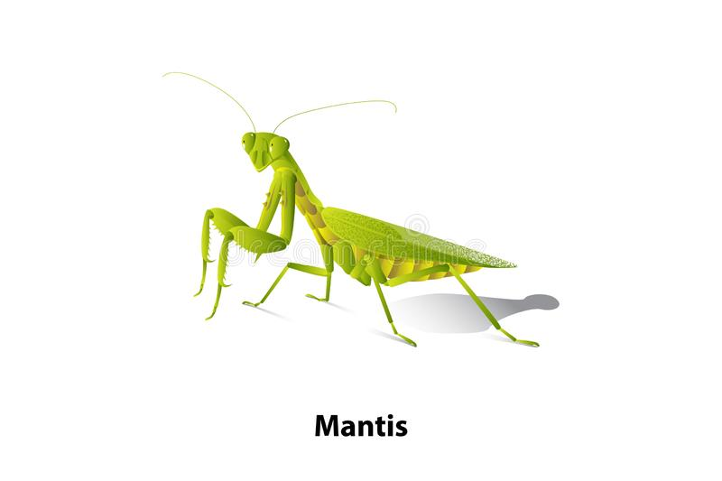 Green mantis rice on the white background,vector,isolated. Green mantis rice on the white background,vector,isolated,Predator eat insect and bug that eat plant vector illustration