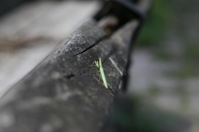 green mantis sitting old wooden log alone stock photography