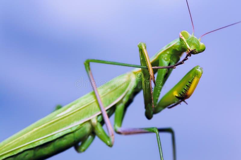 Green mantis washing itself stock photos