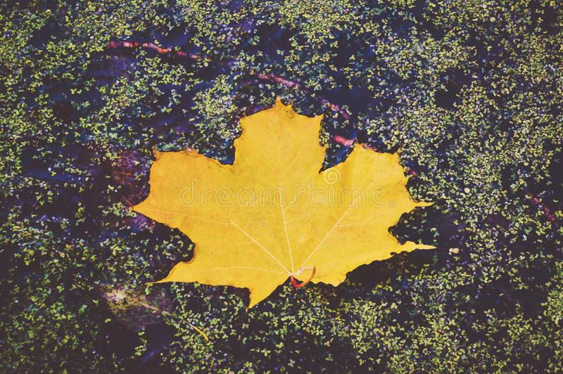 Green maple leaf in autumn on a background of water with splashes royalty free stock photo