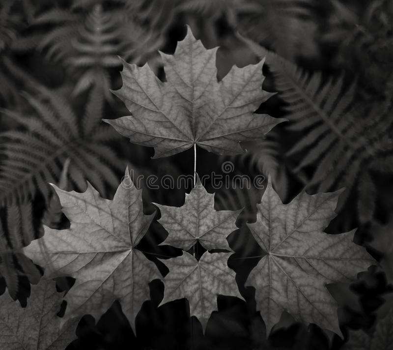 Green maple leaf. Geometry on black and white color royalty free stock image