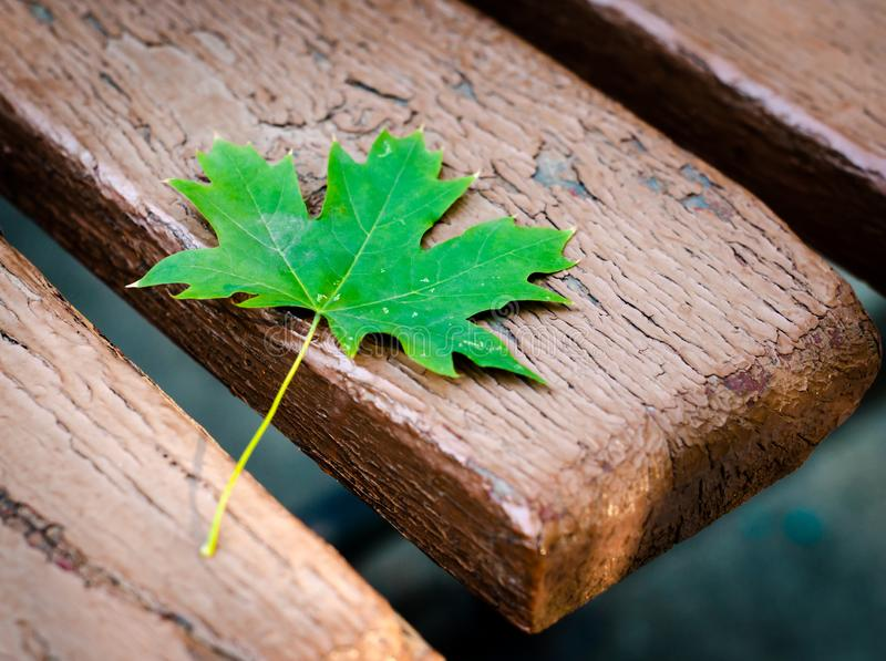 Green maple leaf on an old bench in a park close-up royalty free stock photos