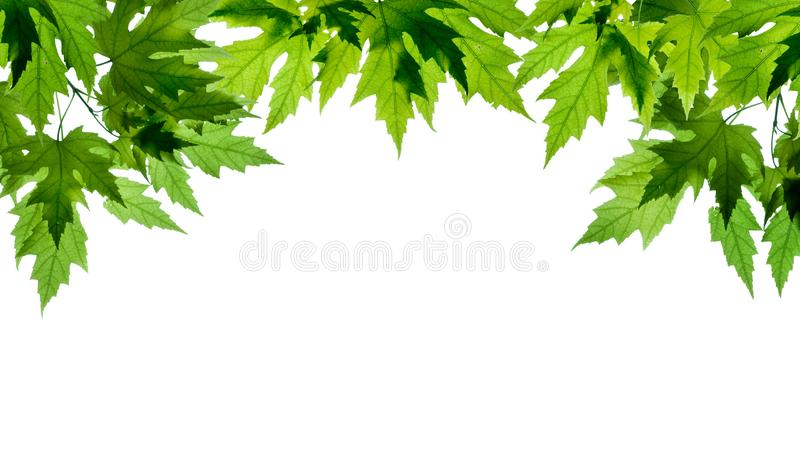 Green maple leafs isolated on white background. Spring and summer background. Green maple leafs isolated on white background. Spring and summer fresh background stock image