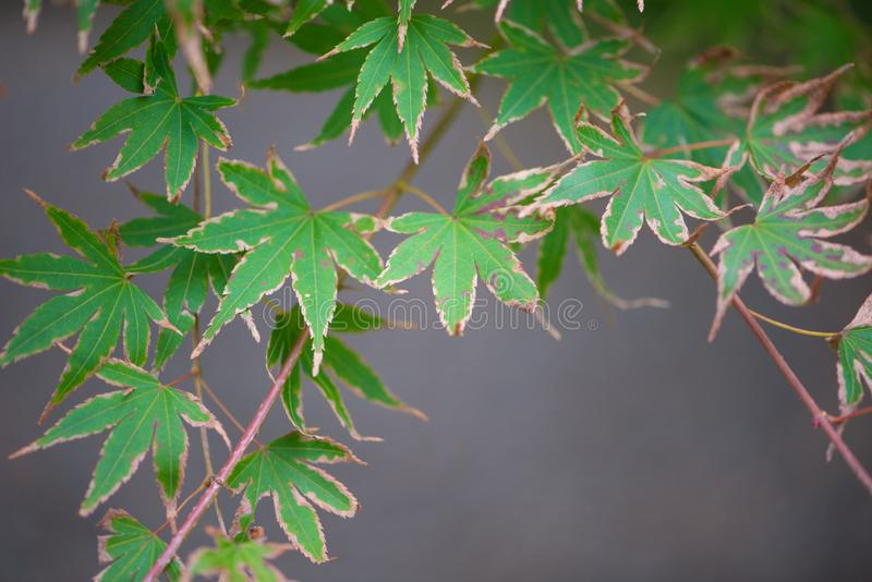 Green maple leave royalty free stock photography