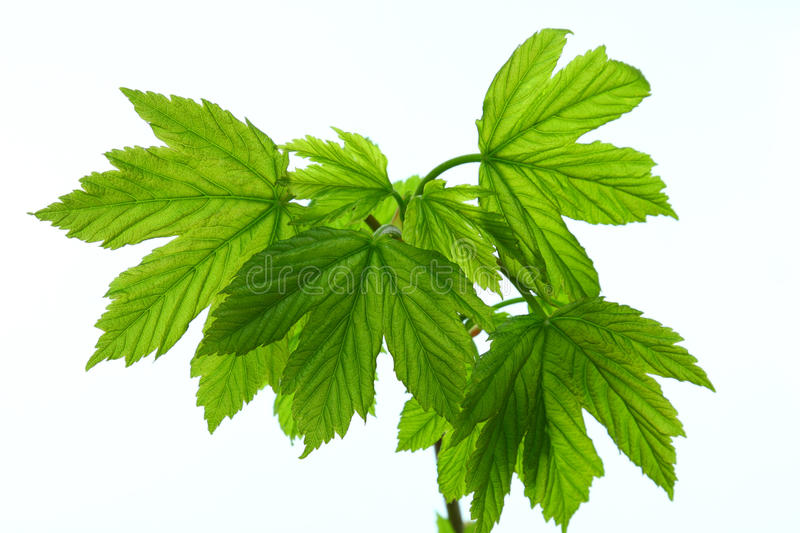 Download Green Maple Leaves Stock Photos - Image: 13583673