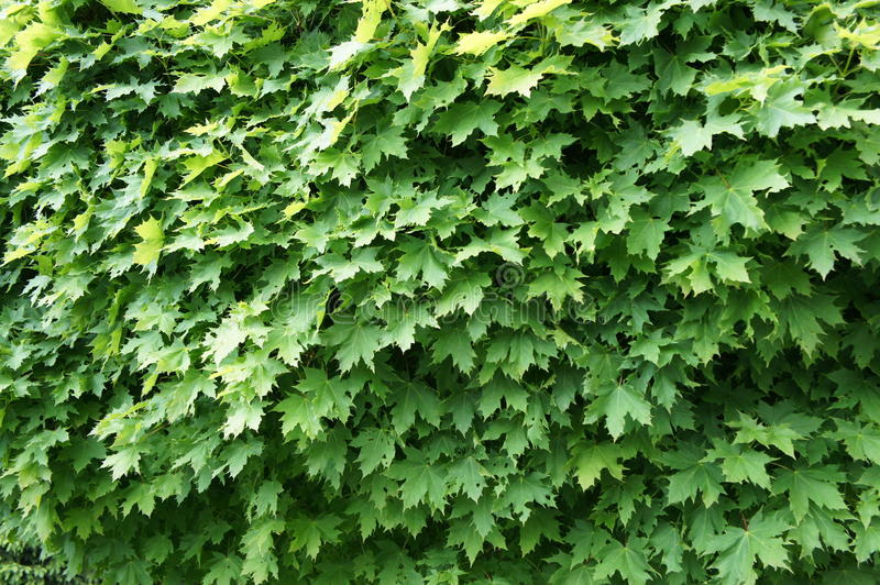 Green maple leaves royalty free stock image
