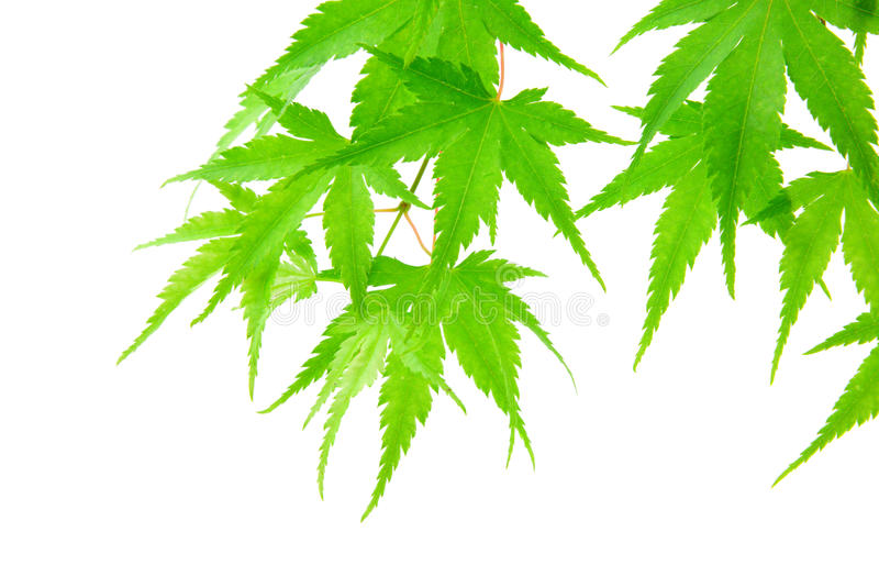 Green maple leaves royalty free stock images