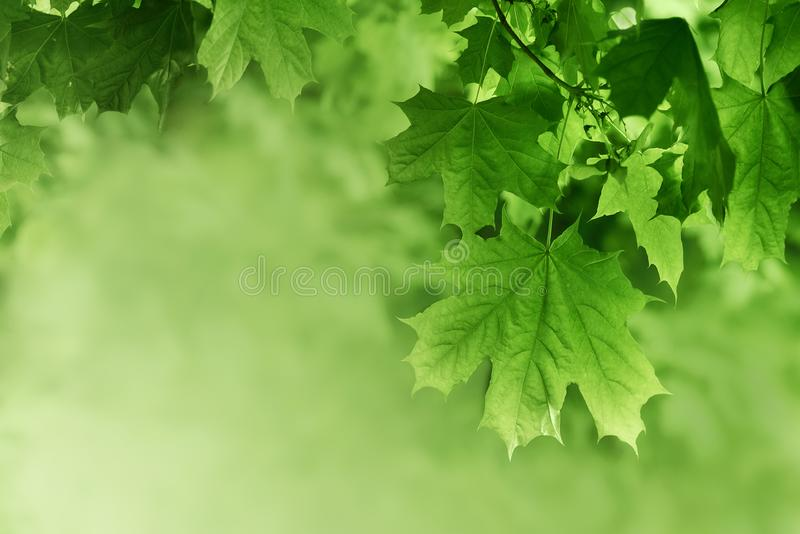 Green maple leaves background. Plant and botany nature texture stock photos