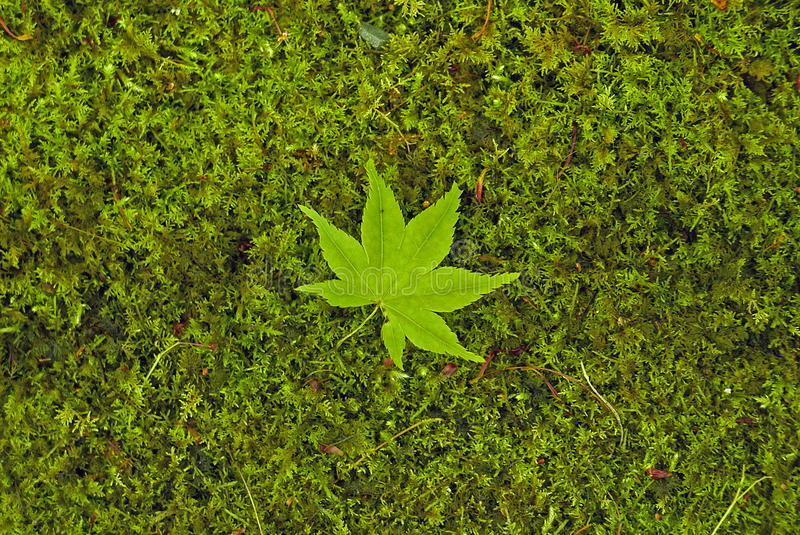 A Green Maple Leaves on Green Grass stock photo