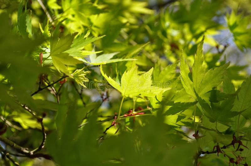Green maple leaves in Japan stock image