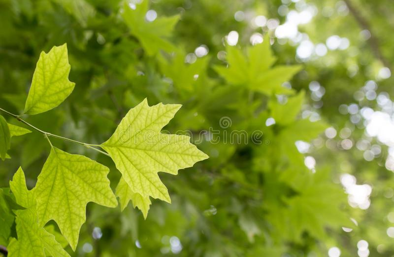 Green maple leaves on nature stock image