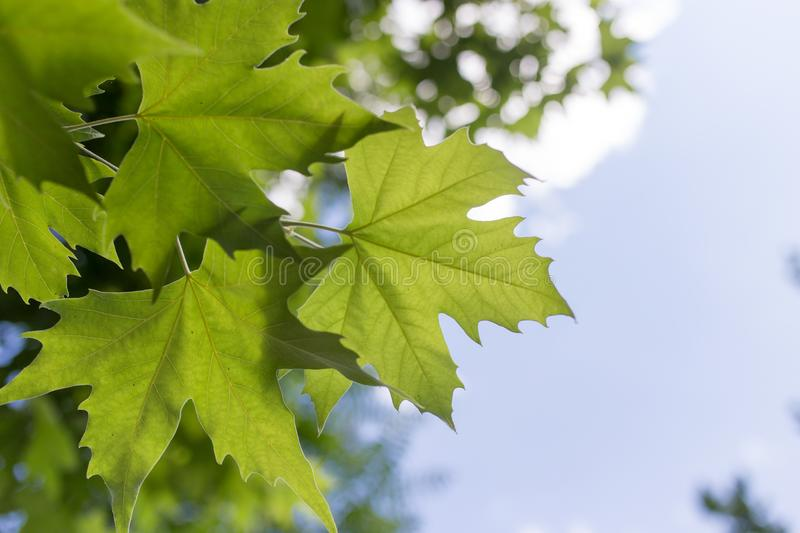 Green maple leaves on nature stock images