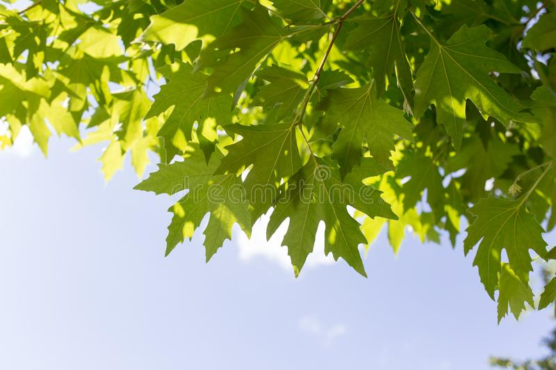 Green maple leaves on nature royalty free stock images