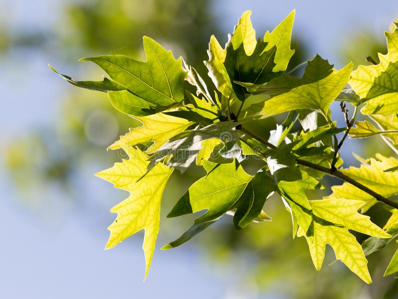 Green maple leaves on nature royalty free stock photos