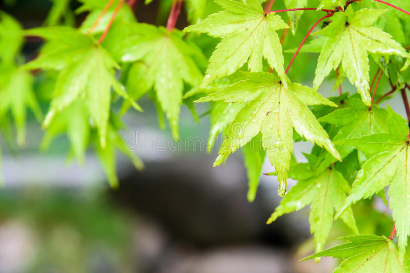 The green maple leaves after the rain royalty free stock image