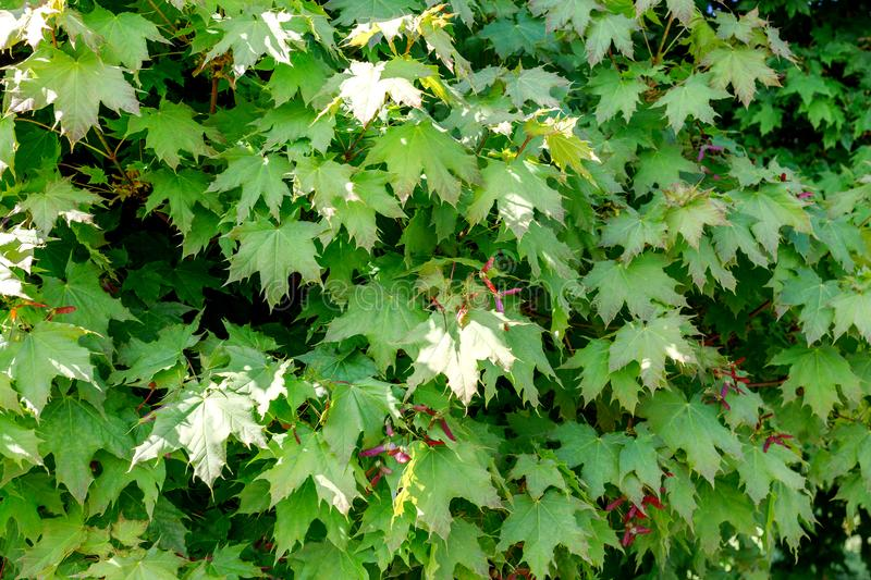 Green maple leaves with red seeds. Nature background royalty free stock photo