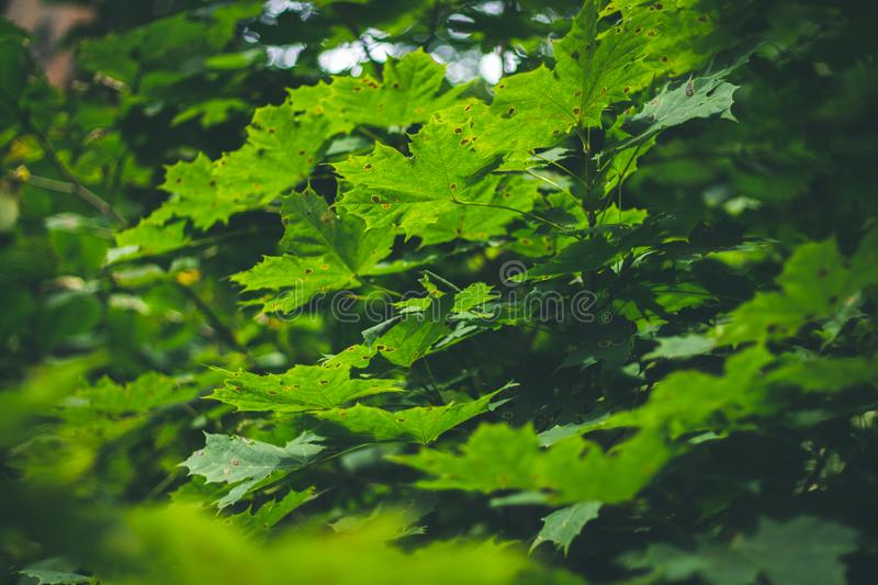 Green maple leaves sunlight background. Summer, autumn. royalty free stock images