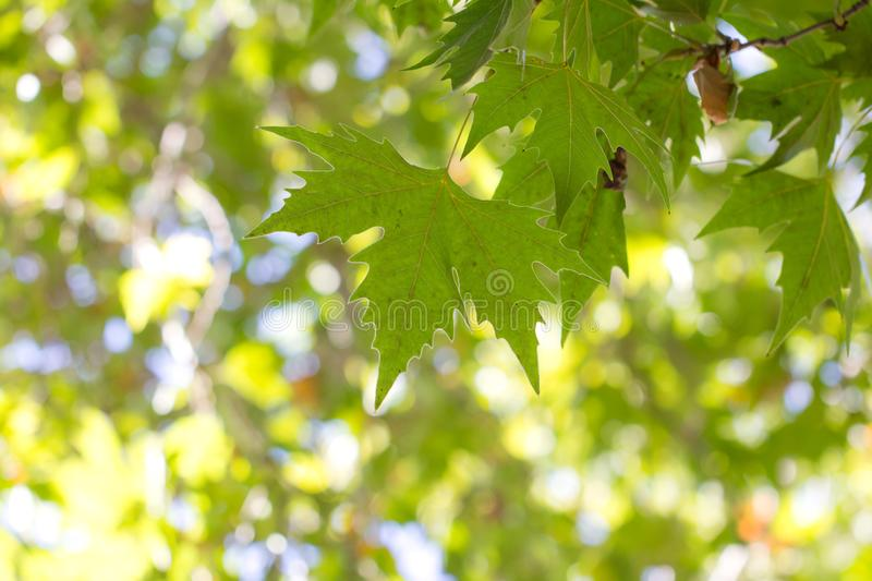 Green maple leaves on a tree royalty free stock photos