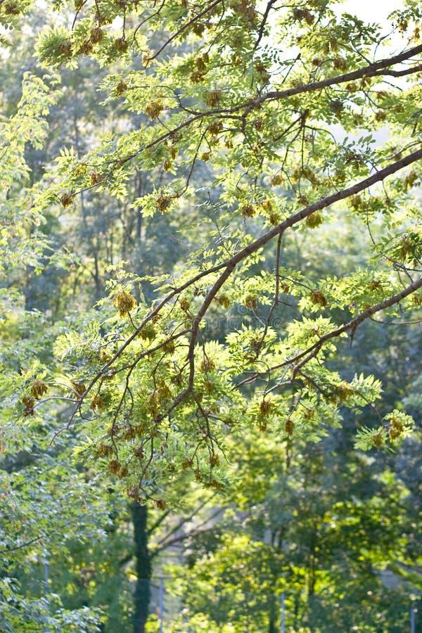 Download Green maple tree stock image. Image of daylight, sunshine - 14179221