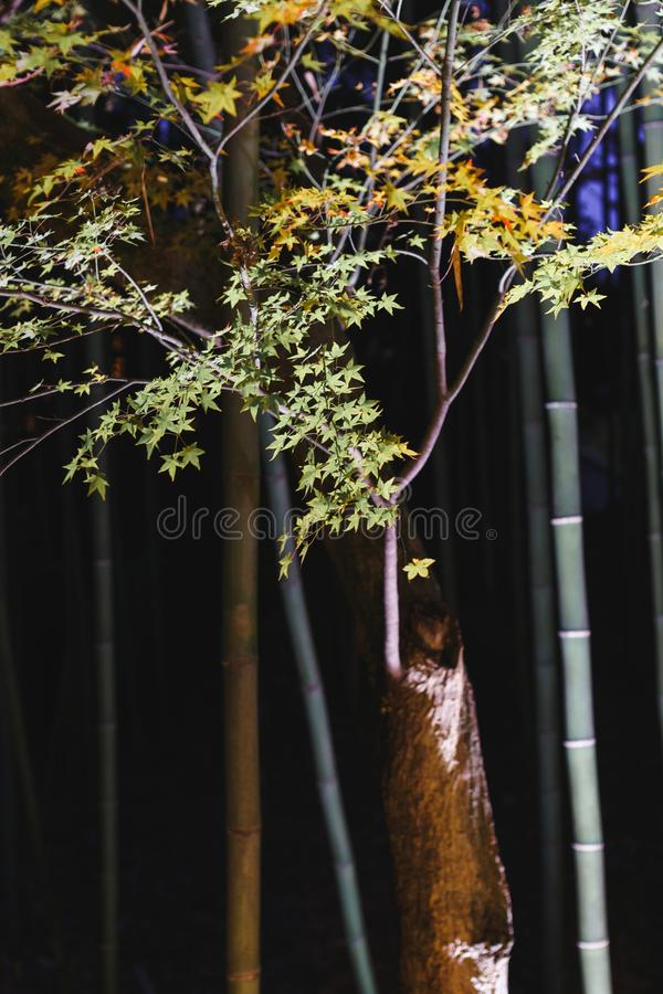 Green maple trees and bamboo in night in Kitano Tenmangu Shrine royalty free stock photo