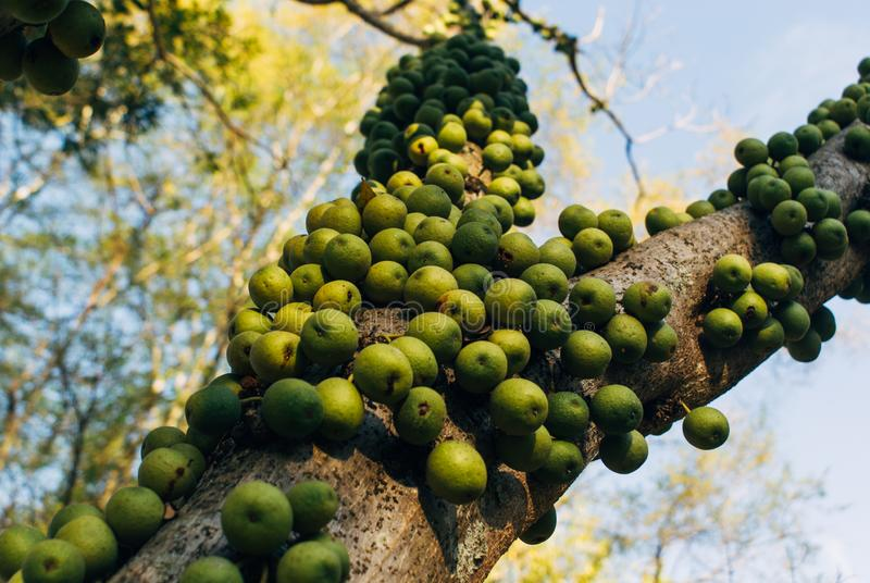 Green marula fruit in South Africa. Fruit from the Marula tree in South Africa stock photography